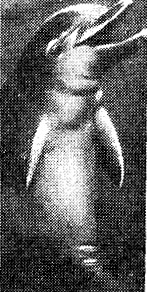 Дельфин «Таффи»