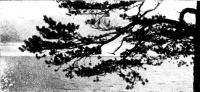 Дерево на берегу Чудского озера