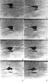 Кинограмма движения морского кота (вид сбоку)