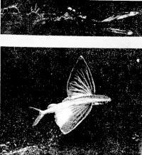 Разгон и планирование летучей рыбы