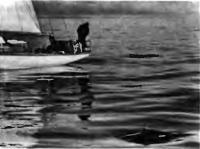 Дельфины впереди яхты