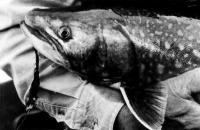Голова рыбы кунджа